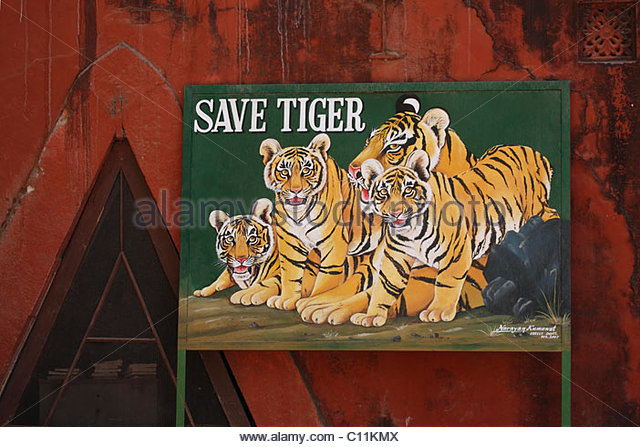 save tigers in india —the overwhelming demand for tiger parts on the asian market means india's tigers face constant peril from poachers conservationist belinda wright and her team at the wildlife protection society of india are working to save tigers.