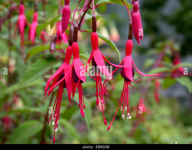 Hardy garden fuchsia flowers stock photos hardy garden for Fuchsia magellanica