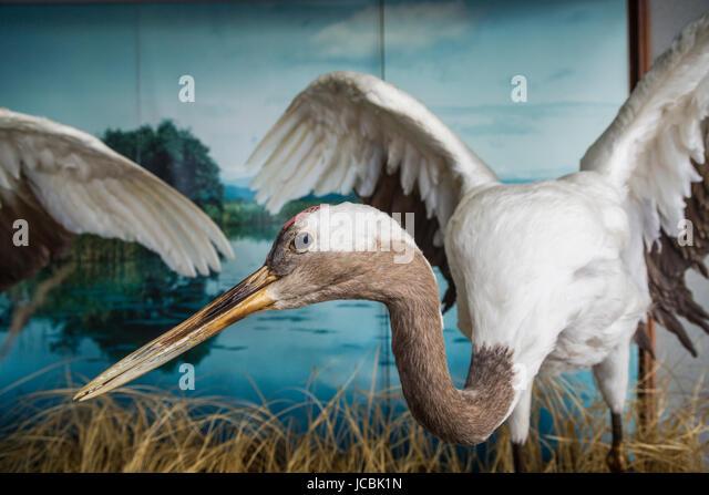 A large crane bird exhibited in Kushiro City, prefecture, Hokkaido, Japan.. - Stock Image