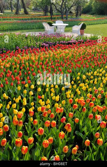 Tulipan, Britzer Garten, Berlin, Germany - Stock Image