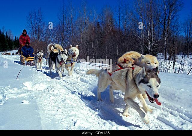 Siberian Husky Quebec Quebec Canada M...