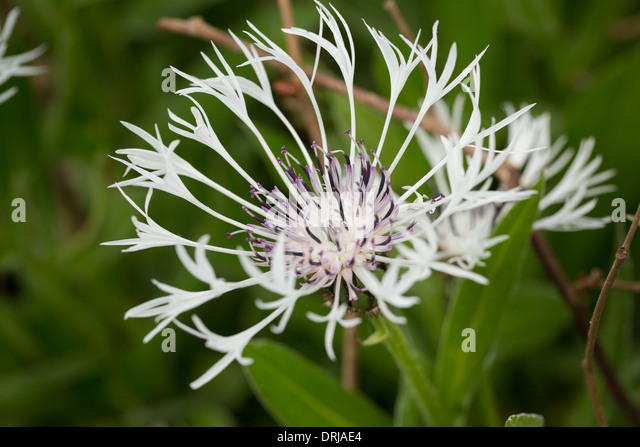 Alba Star Stock Photos Amp Alba Star Stock Images Alamy