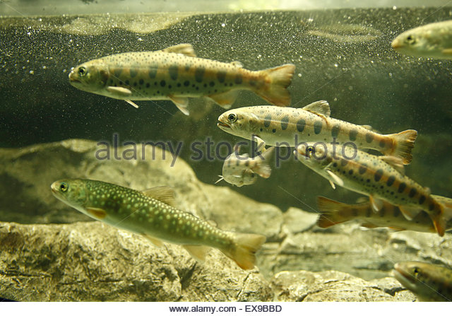 Dolly varden stock photos dolly varden stock images alamy for Dolly varden fish