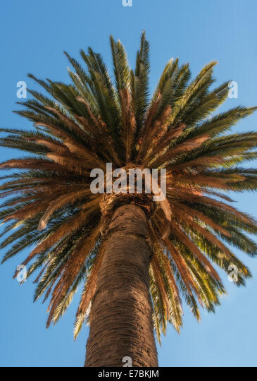 canary island date palm phoenix canariensis stock photos. Black Bedroom Furniture Sets. Home Design Ideas