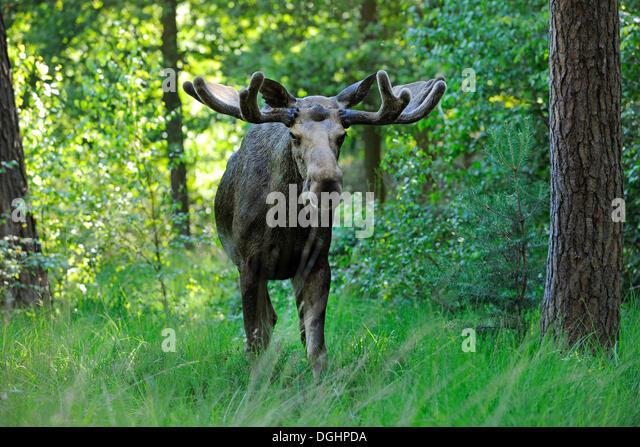 Eurasian elk - photo#46