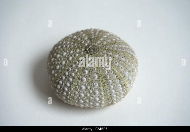 White sea urchin shell - photo#8