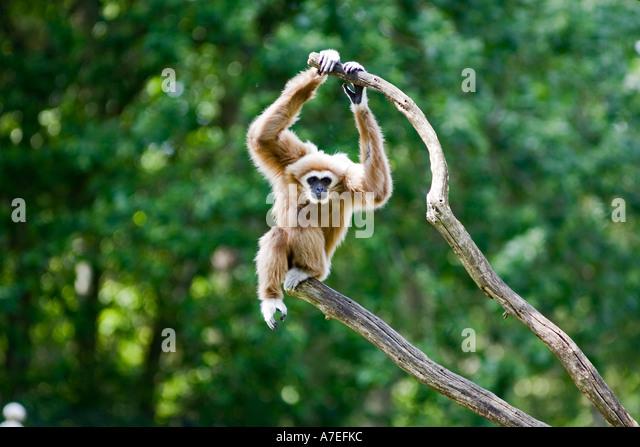 white-handed-gibbon-a7efkc.jpg