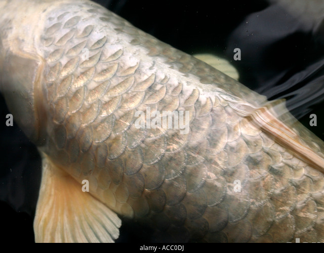 Koi carp stock photos koi carp stock images alamy for Silver koi fish