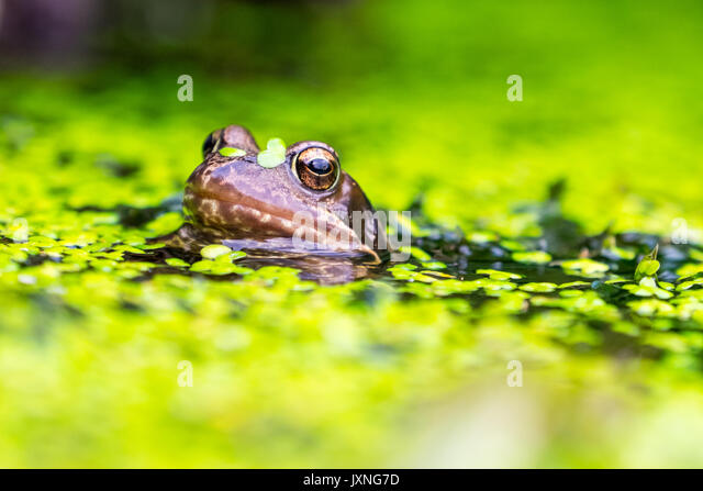 Garden Pond Frogs Stock Photos Garden Pond Frogs Stock Images
