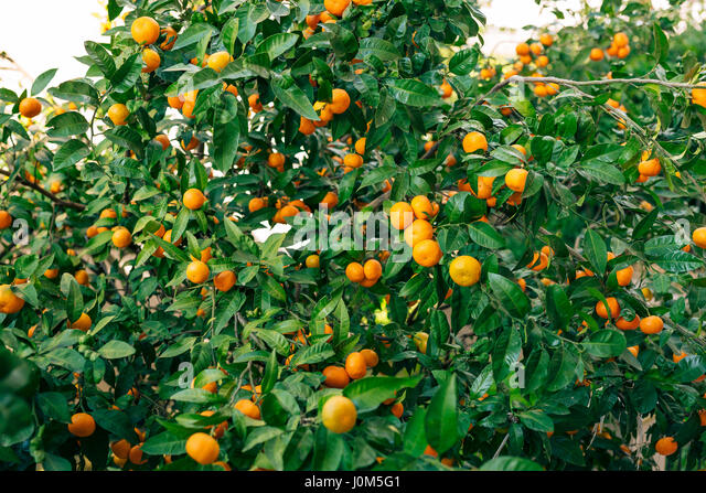 Fascinating Mandarin Orange Flower Stock Photos  Mandarin Orange Flower Stock  With Magnificent Orange Mandarin On The Tree Ripe Tangerine Montenegrin Mandarin Trees  Home Tangerine Garden With Captivating Gardening Quizzes Also Chelsea Garden Show In Addition Wooden Garden Border And Tintin Shop Covent Garden As Well As Nearest Hilton Garden Inn Additionally Topiary Gardens Uk From Alamycom With   Magnificent Mandarin Orange Flower Stock Photos  Mandarin Orange Flower Stock  With Captivating Orange Mandarin On The Tree Ripe Tangerine Montenegrin Mandarin Trees  Home Tangerine Garden And Fascinating Gardening Quizzes Also Chelsea Garden Show In Addition Wooden Garden Border From Alamycom