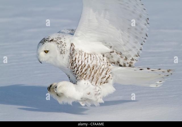 Birds Of Prey Feather Stock Photos & Birds Of Prey Feather ...