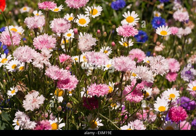Wild English Cottage Garden Flowers