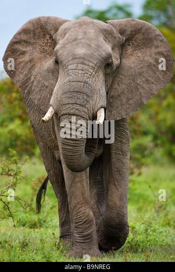 elephant charging stock photos amp elephant charging stock