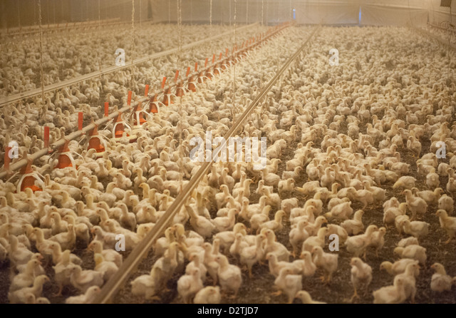 Chicken House Farm broiler chicken house stock photos & broiler chicken house stock
