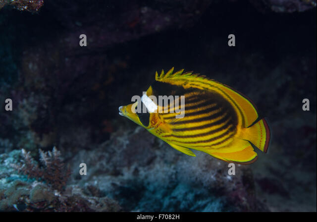 Are not Info on striped butterfly fish talk this
