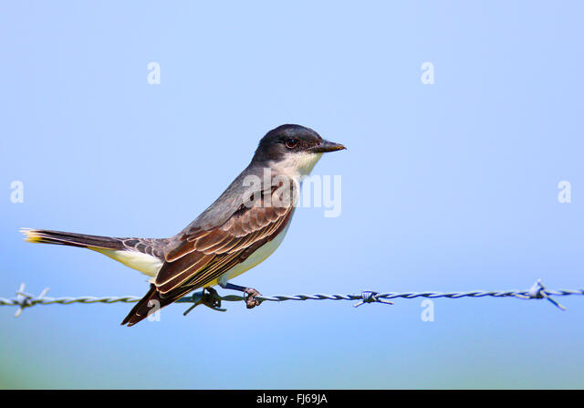 Tyrannus tyrannus stock photos tyrannus tyrannus stock images eastern kingbird tyrannus tyrannus sits on a barbed wire usa florida thecheapjerseys Image collections