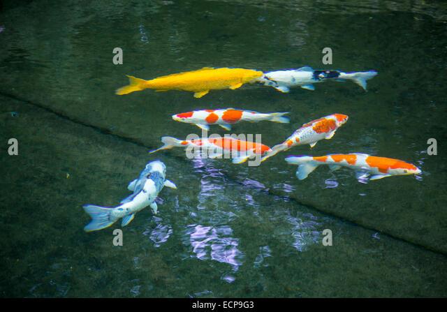 Koi fish in pond stock photos koi fish in pond stock for Koi pool poulton
