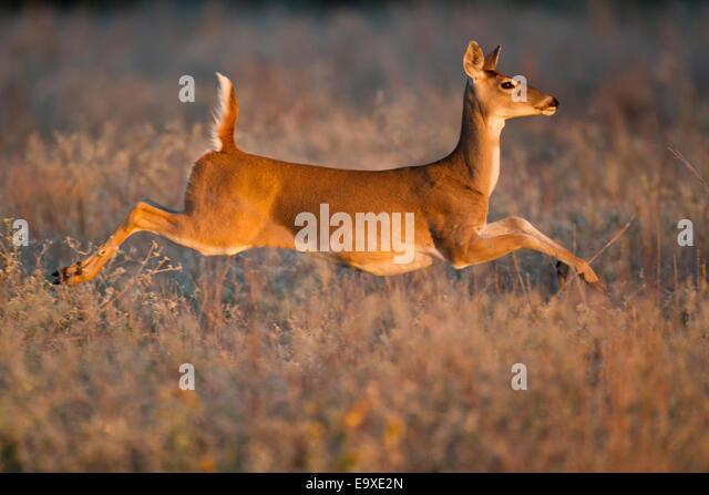 Running Whitetail Deer