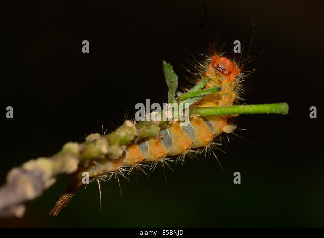 What does the black and orange fuzzy caterpillar eat?