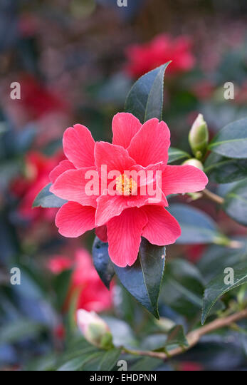 Camellia uk stock photos camellia uk stock images alamy - Flowers that mean freedom ...