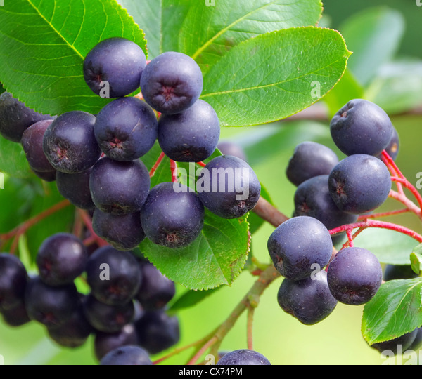 aronia beere stock photos aronia beere stock images alamy. Black Bedroom Furniture Sets. Home Design Ideas