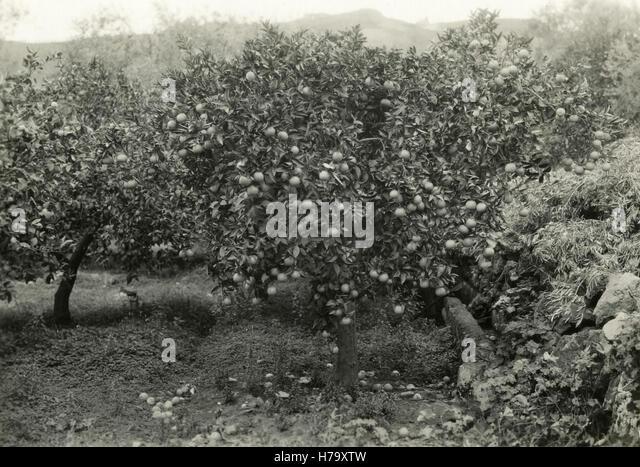 orange-trees-of-quality-belladonna-sicil