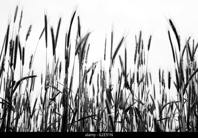 tall grass silhouette. Tall Grass Black And White Stock Photos Images Alamy Silhouette E