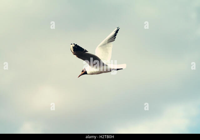 Bonapartes Seagull Stock Photos & Bonapartes Seagull Stock ...