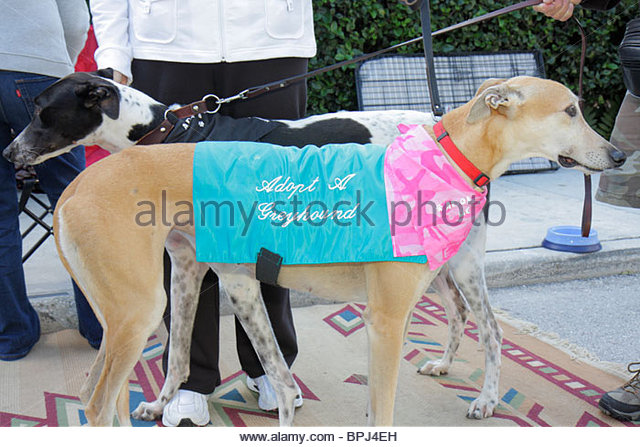 Greyhound Adoption West Palm Beach