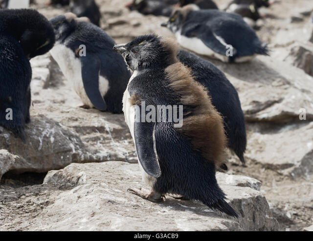Rockhopper Stock Photos & Rockhopper Stock Images - Alamy
