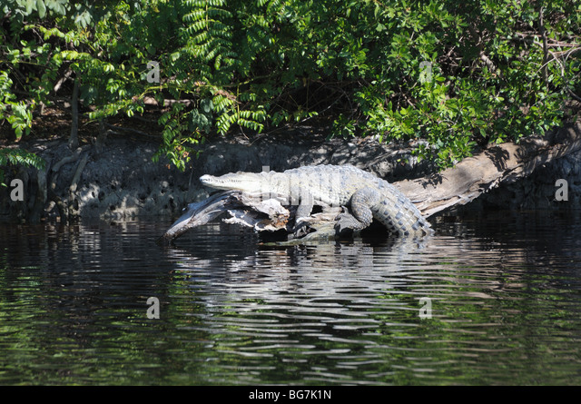everglades national park american crocodile Everglades national park is the largest subtropical wilderness in the united states the area boasts rare and endangered species, such as the american crocodile, florida panther, and west indian manatee.