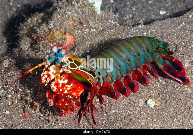 Peacock Mantis Shrimp Stock Photos & Peacock Mantis Shrimp Stock ...