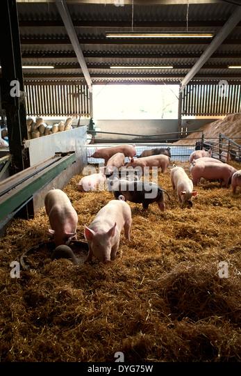 Modern Pig Sty: Piggery Stock Photos & Piggery Stock Images