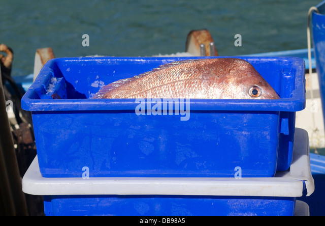 Red sea bream snapper stock photos red sea bream snapper for Fish box for boat