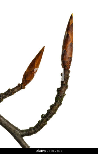 Buds Cut Out Stock Photos Buds Cut Out Stock Images Alamy