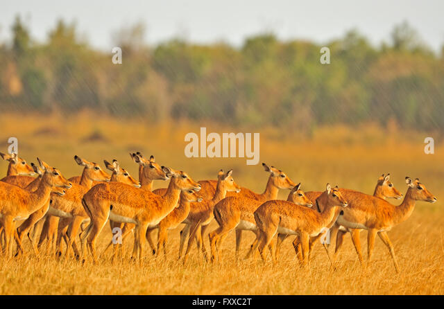 Group Female Impala Stock Photos &amp- Group Female Impala Stock ...