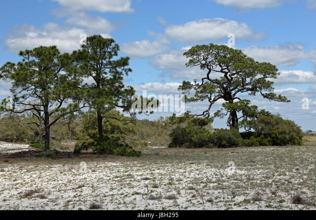 Three shrubs stock photos three shrubs stock images alamy for Mature pine trees