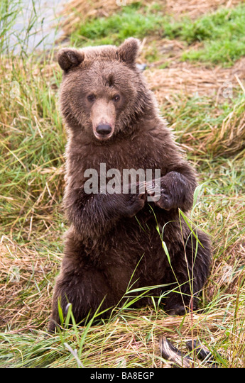 Grizzly bear sitting up - photo#14