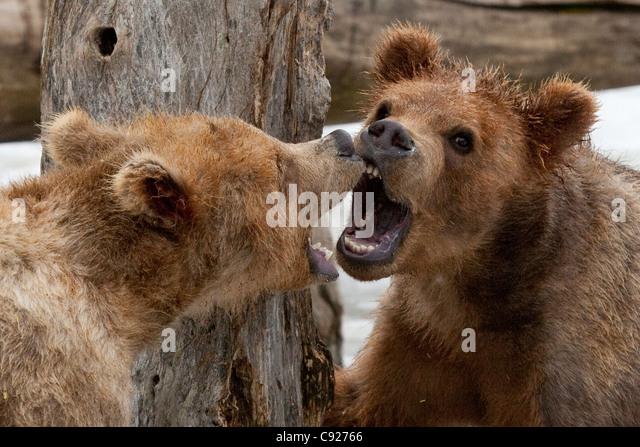 Kodiak Brown Bear Stock Photos & Kodiak Brown Bear Stock ...