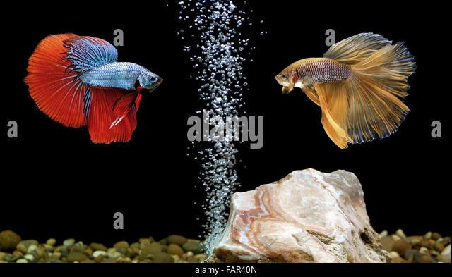 Siamese Fighting Fish Stock Photos Siamese Fighting Fish