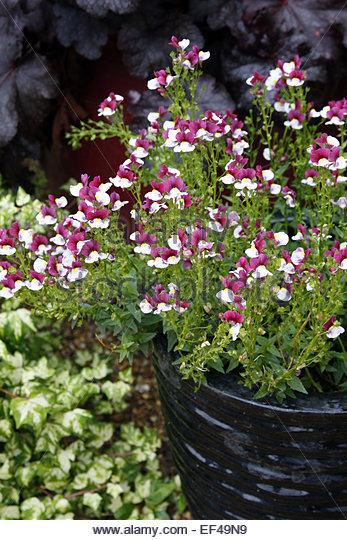 how to grow raspberries in pots in australia