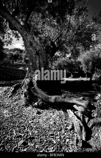 olive tree black and white stock photos images alamy. Black Bedroom Furniture Sets. Home Design Ideas