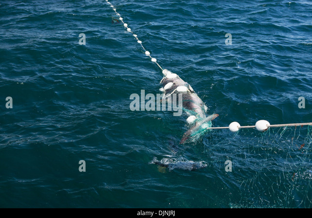 Salmon shark stock photos salmon shark stock images alamy for Shark fishing games