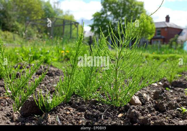 Mares Tail Weed Weeds Stock Photos & Mares Tail Weed Weeds Stock ...