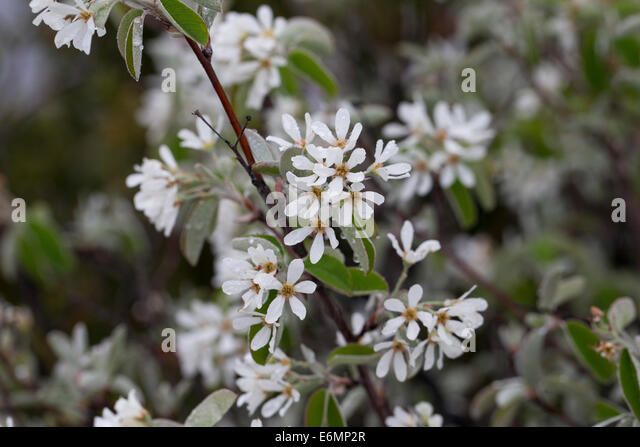 amelanchier stock photos amelanchier stock images alamy. Black Bedroom Furniture Sets. Home Design Ideas