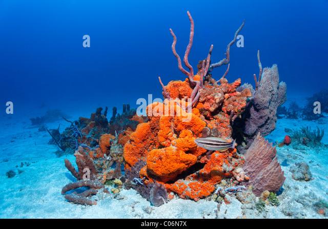 Orange Sea Sponges In Florida Natural History