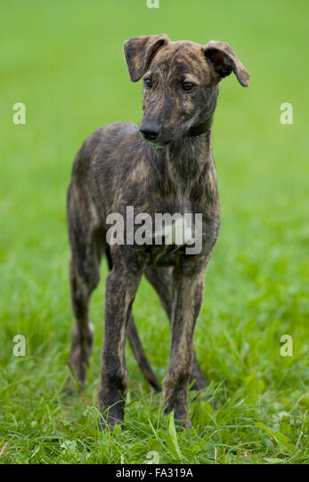 lurcher puppy stock photos amp lurcher puppy stock images