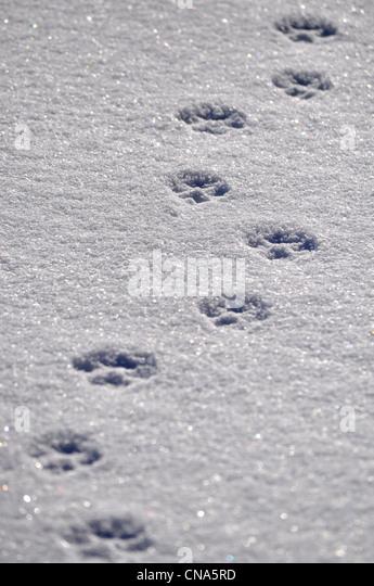 Dog tracks stock photos dog tracks stock images alamy animal dog tracks prints in the snow stock image publicscrutiny Choice Image