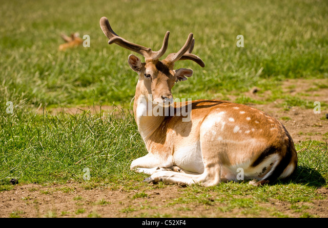 how to clean a deer in the field
