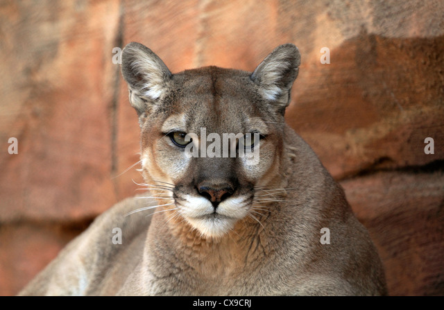 west orange cougar women See a rich collection of stock images, vectors, or photos for cougar woman you can buy on shutterstock explore quality images, photos, art & more.